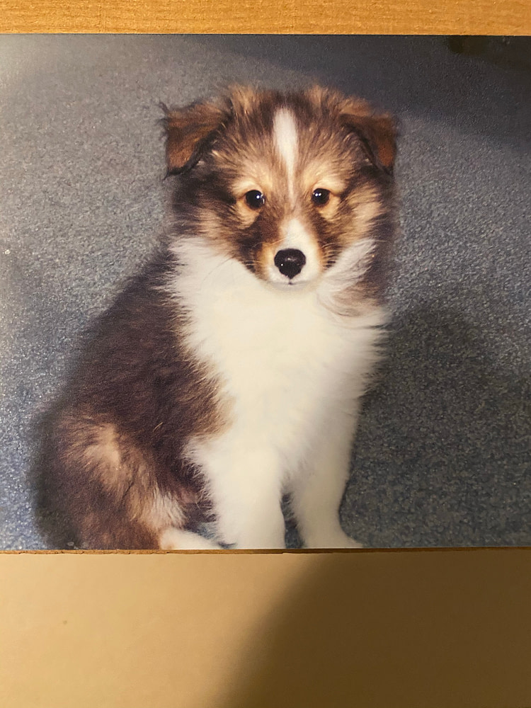 An Old Sheltie Puppy Photo